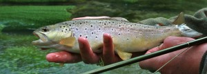 cropped trout